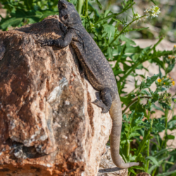 49 Palms Oasis-Chuckwalla Lizard-4