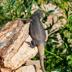 49 Palms Oasis-Chuckwalla Lizard-5