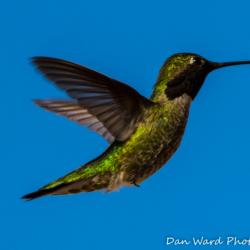 Anna's Hummingbird-Puerto Penadco-1 (1 of 1)