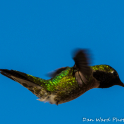 Anna's Hummingbird-Puerto Penadco-2 (1 of 1)