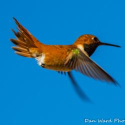 Rufous Hummingbird-Puerto Penadco-1 (1 of 1)
