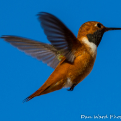 Rufous Hummingbird-Puerto Penadco-2 (1 of 1)