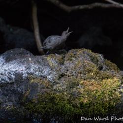 American Dipper-Burney Falls-July 2019-2