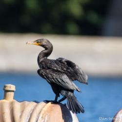 Cormorant-Lake Siskiyou-1