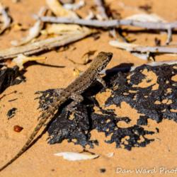 Desert Iguana-Pinacate Bioshpere Reserve-November 2019-1 (1 of 1)