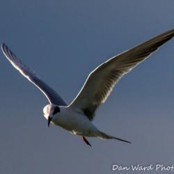 Tern-1 (1 of 1)