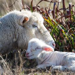 Mama & Baby Sheep