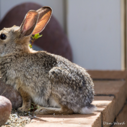 Desert Cottontail-1