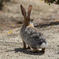 Desert Cottontail-2