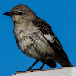 Desert Mockingbird-6