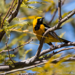 Hooded Oriole-Adult Male-1