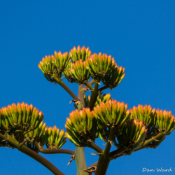 Agave Bloom-01
