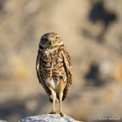 Burrowing Owl-01