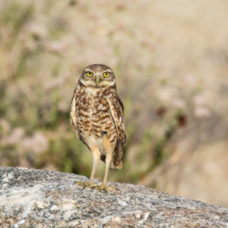 Burrowing Owl-02