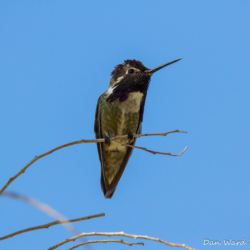 Costas Hummingbird-12