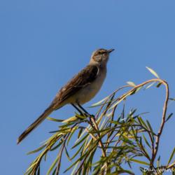 Desert Mockingbird-001