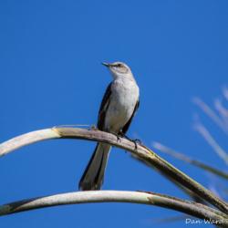 Desert Mockingbird-01