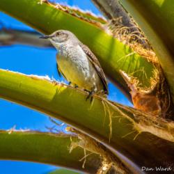 Desert Mockingbird-02