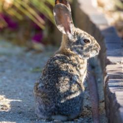 Desert Rabbit-05