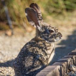 Desert Rabbit-06