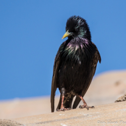 European Starling-004
