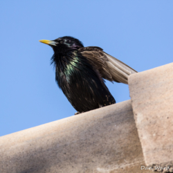 European Starling-05