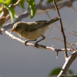 Gray Flycatcher-02