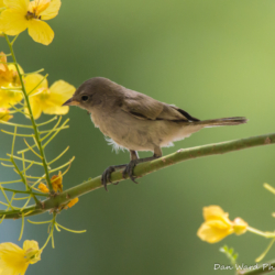 Gray Flycatcher-03