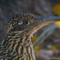 Greater Roadrunner-001