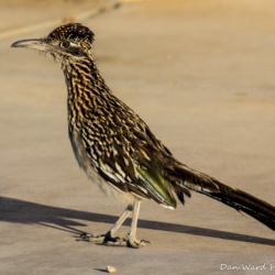Greater Roadrunner-1