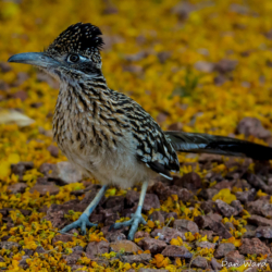 Greater Roadrunner-2
