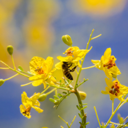 Honey Bee on Palo Verde Blossom-1