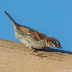 House Sparrow-01