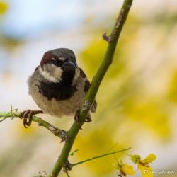 House Sparrow-05