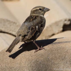 House Sparrow-Female-001