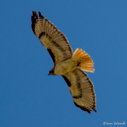 Red-Tailed Hawk-01