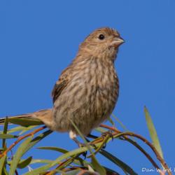 Vesper Sparrow-01