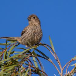 Vesper Sparrow-02