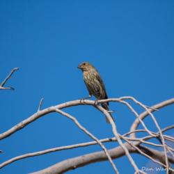 Vesper Sparrow-04